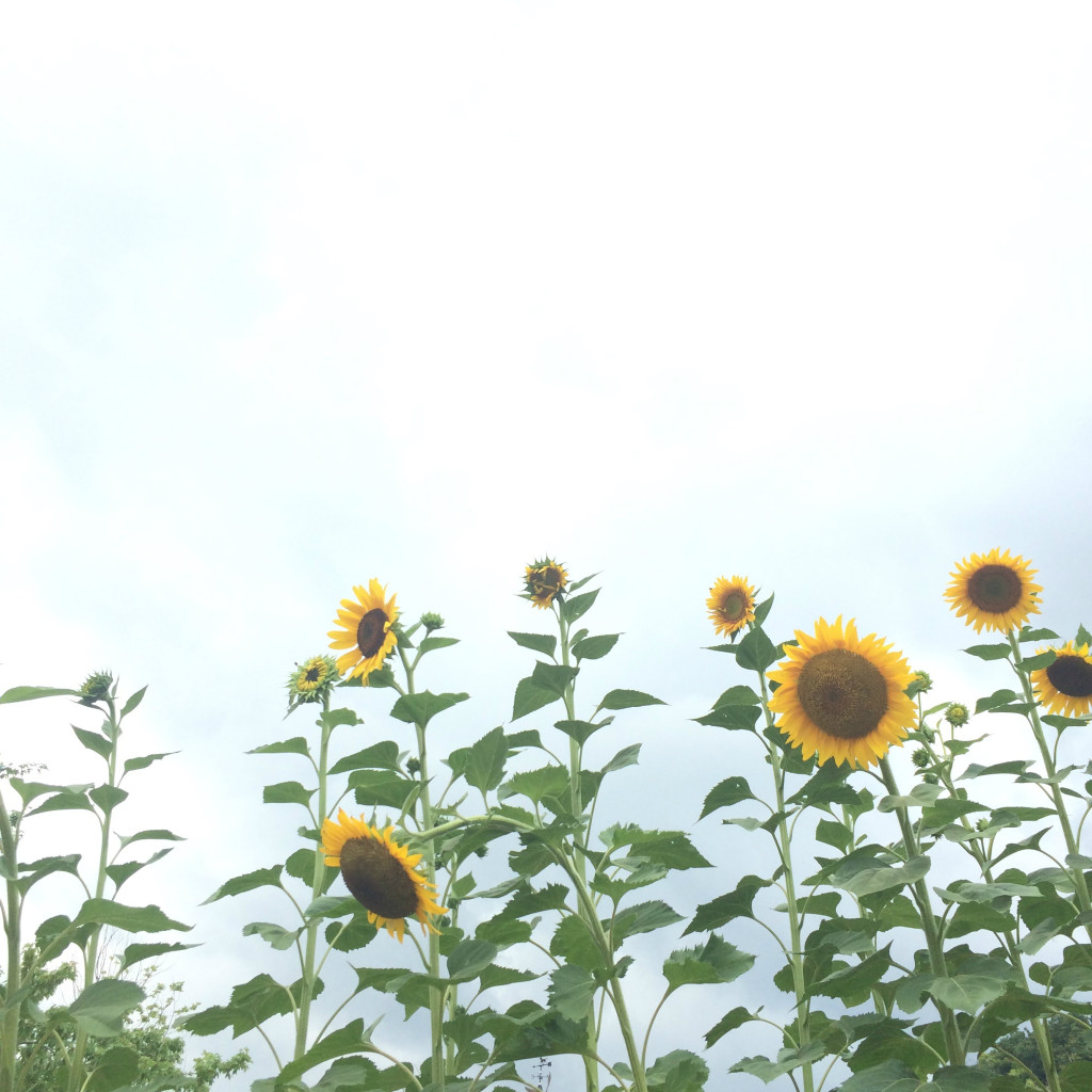 tlyblog_sunflowers